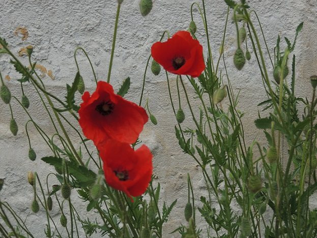 Poppies outside Eglise Sainte Radegonde - the church where Claude Monet and his family are buried