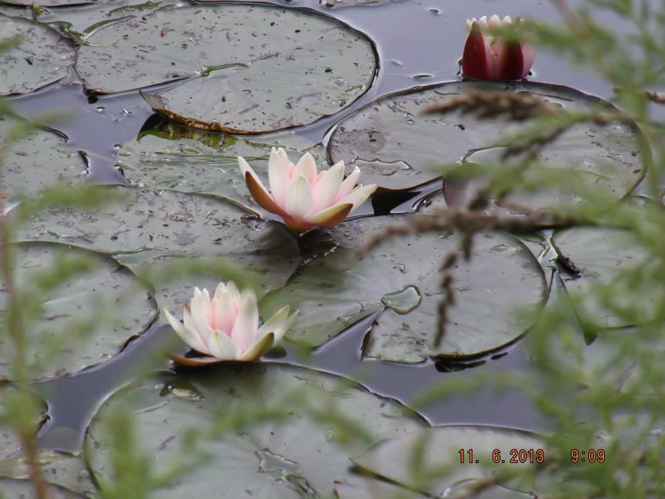 Waterlilies in Claude Monet's Gardens