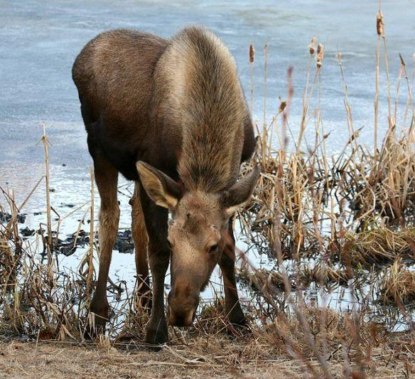 Young moose, Alaska