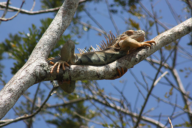 Costa Rica - Green Iguana up a tree