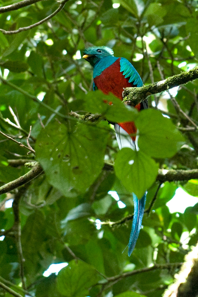 Costa Rica - Quetzal bird - Monteverde Cloud Forest