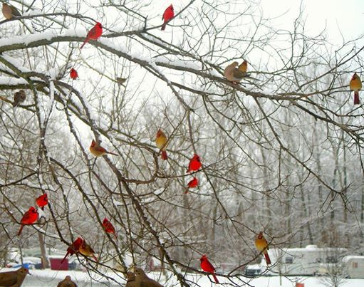 Snow - cardinals in tree - provided by Roland Allen