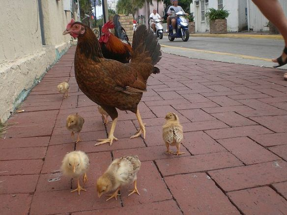 Key West - free roaming chicken family