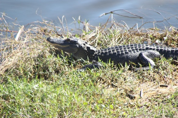 alligator asking in the sun