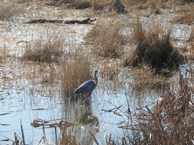 Great Blue Heron warily eyeing an alligator