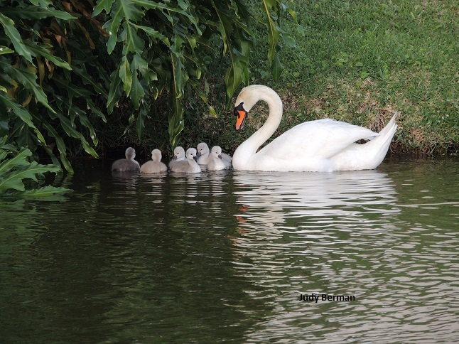 Swans and cygnets in Viera 058 - Copy