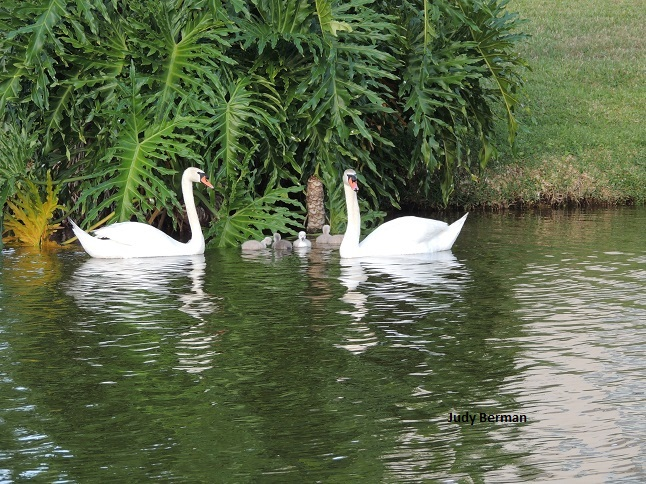 Swans and cygnets (2/3)