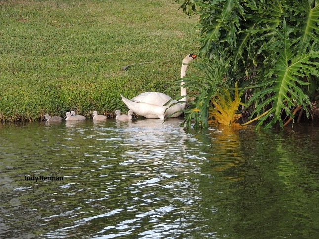 Swans and cygnets in Viera 069 - Copy
