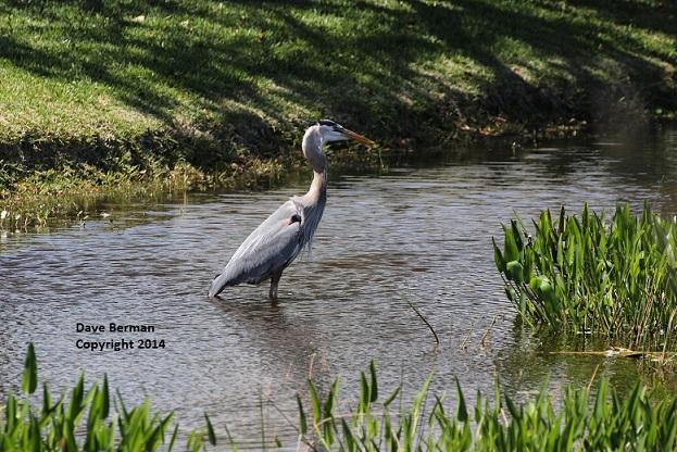 Great Blue Heron - Viera - April 2014 (1) - Copy