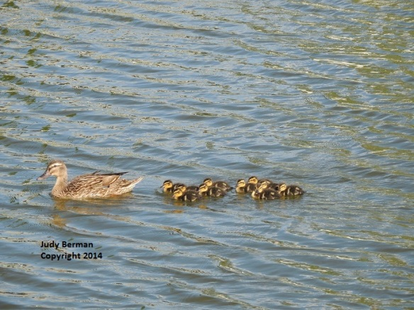 Mallard Duck and ducklings - Viera - April 2014 (3) - Copy