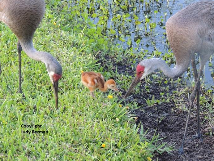 Sandhill Cranes - Florida Today - 6-26-14 039 - Copy