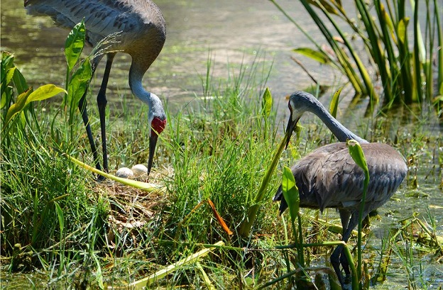Sandhill Cranes - Ichabod and Abby - photo by Craig Bailey - May 2014