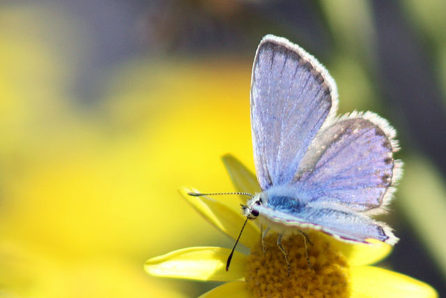 Butterfly - Polyommatus_Eros_common_meadow_blue_Lycaenidae