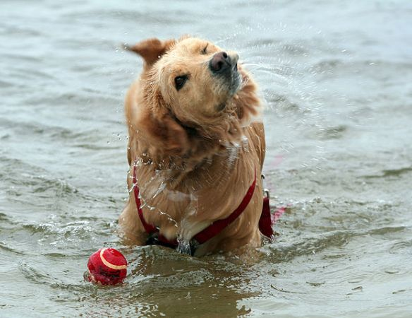 Shake it off - Golden Retriever shaking off water