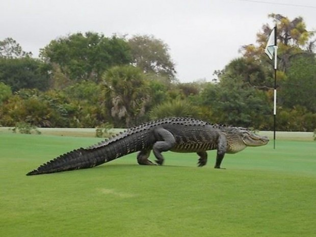 alligator - Myakka Golf Course - Englewood, Florida