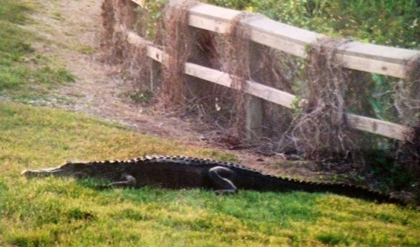 alligator - ready to cross path in the Everglades - 2005